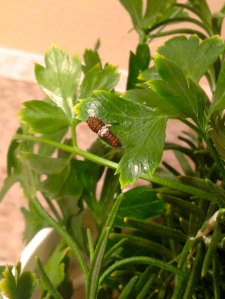 The youngest caterpillars are dark with a white stripe. From afar, they look a bit like bird droppings...
