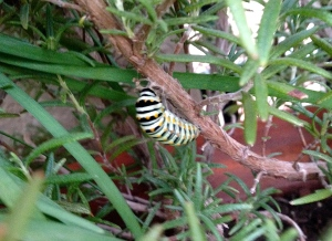 This particular caterpillar migrated onto my mom's rosemary and has positioned itself to form its chrysalis.